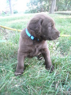chocolate labradoodle puppies for sale